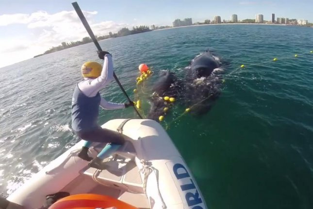 Rescuers work to free a humpback whale calf from a shark net while its mother keeps a close watch. Screenshot: Storyful