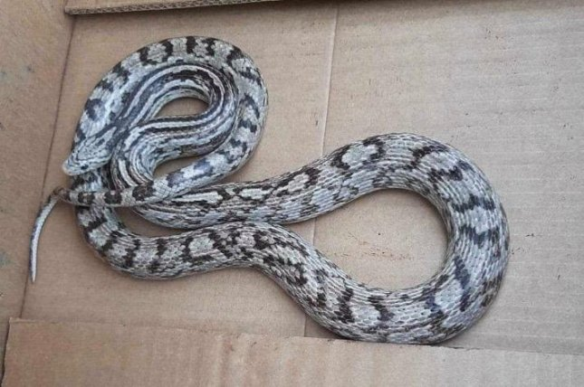 Conservation officials in Ontario are asking members of the public to be on the lookout for a former pet snake that was mistakenly released into the wild. Photo courtesy of the Upper Thames River Conservation Authority