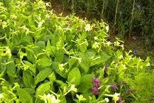 Tobacco plants (CC/Mary Finn)
