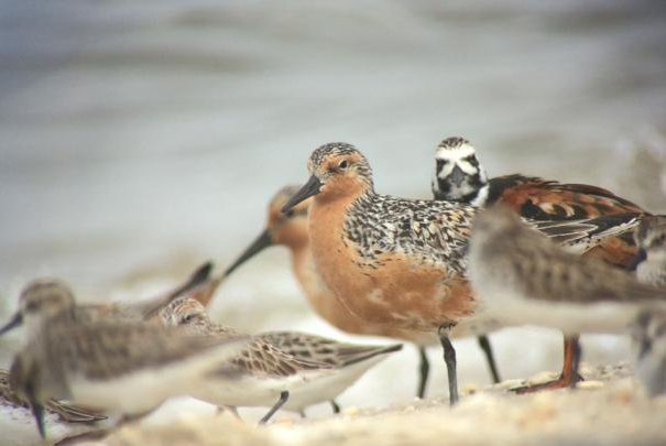 Every year, red knots stop off along the Delaware Bayshore on the way from Chile to the Canadian Arctic. Photo by Brian Schumm