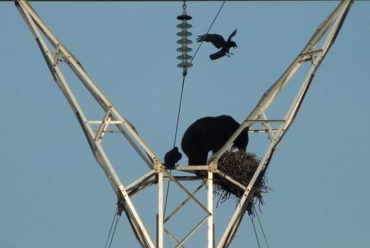 Ravens watch on helplessly as a black bear eats their eggs. Photo by Linda Powell/O.F. Mossburg and Sons