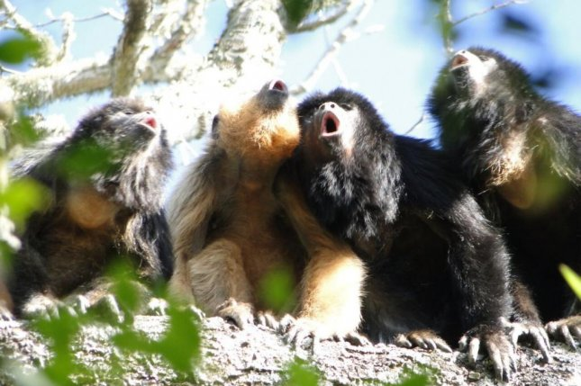 Howler monkeys with deep, booming voices compensate for diminished reproductive abilities. Photo by Mariana Rano/University of Cambridge