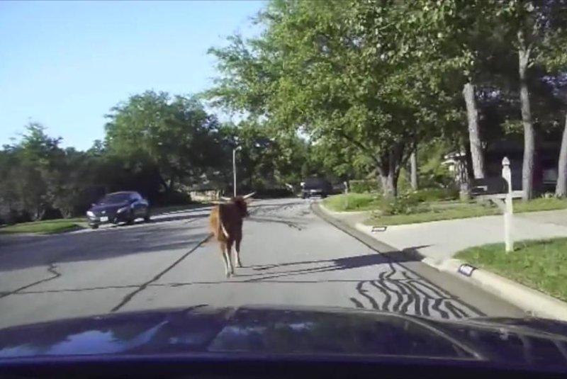 An Arlington police cruiser chases after an escaped bull in a residential neighborhood. Screenshot: arlingtonpolicemedia/YouTube