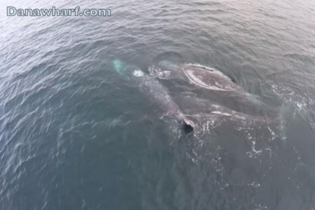 Two whales mate while a third swims with them. Screenshot: Storyful