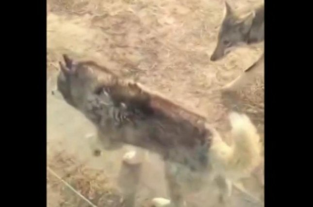A Siberian husky lives side-by-side with wolves at a Chinese zoo. Screenshot: Newsflare