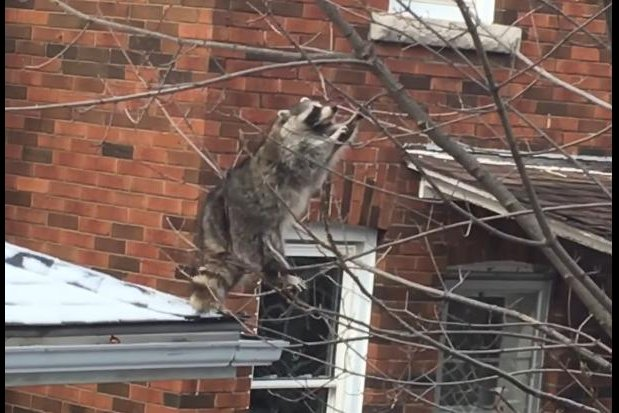 This raccoon is about to regret its decisions. Screenshot: JukinMedia