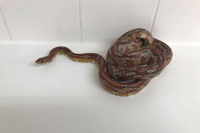 Animal rescuers in Britain removed a snake that invaded a family's bathroom and slithered into the toilet. Photo courtesy of the RSPCA