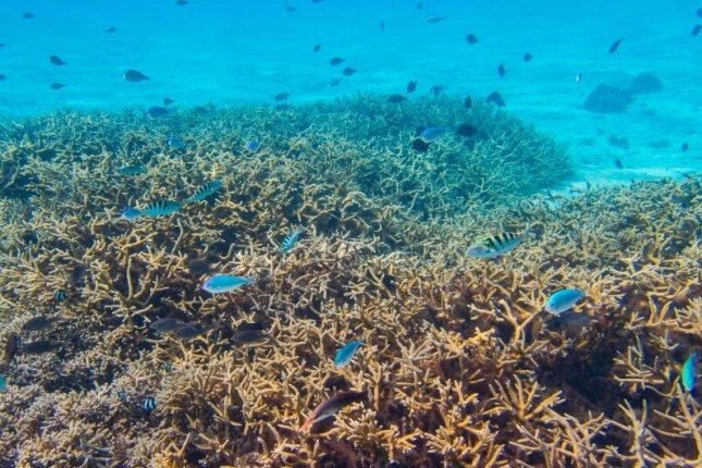 New research suggests nitrogen overload makes a variety of coral species more susceptible to coral bleaching. Photo by Jeff Liang/UCSB