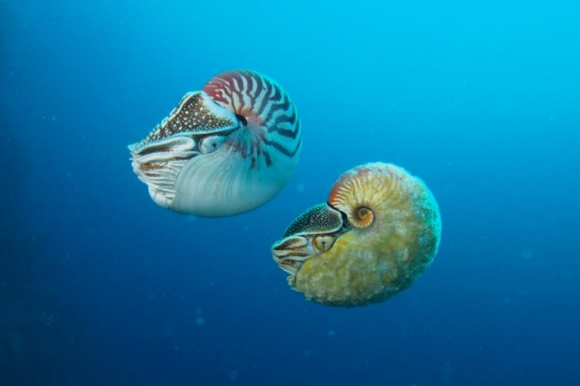 Two nautilus species: the more common Nautilus pompilius on the left, and the exceedingly rare Allonautilus scrobiculatus on the right. Photo by Peter Ward/University of Washington