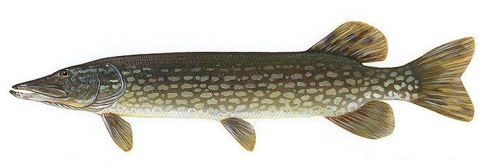 Northern Pike. Credit: U.S. Fish and Wildlife Service