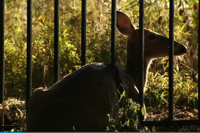 Emergency crews in Pittsburgh responded to help this deer trapped between the metal bars of a fence. Screenshot: KDKA-TV
