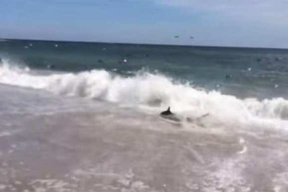 Shark Feeding Frenzy Filmed On Outer Banks Upi Com