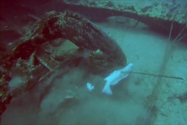 A massive goliath grouper snags a spear fisherman's catch/ National Geographic/YouTube video screenshot
