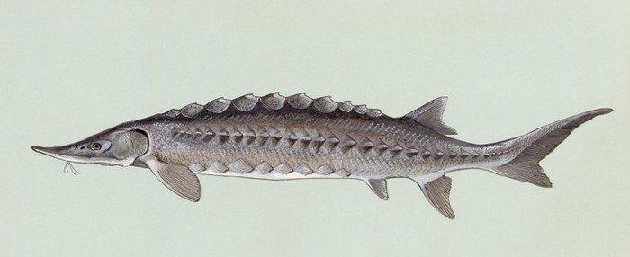 Shortnose sturgeon. Credit: Duane Raver, USFWS
