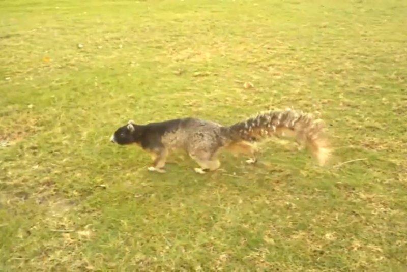Watch: Large fox squirrel wanders Orlando golf course - UPI com