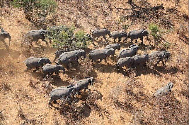 Researchers combined ground counts, aerial surveys and advanced statistical analysis to estimate the abundance and distribution of elephants across the entire continent of Africa. Photo by EWB