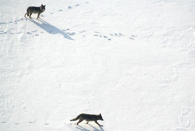 A pair of eastern wolves trek across the snow. New research details the different impacts wolves and coyotes have on local ungulate populations. Photo by University of Nebraska-Lincoln
