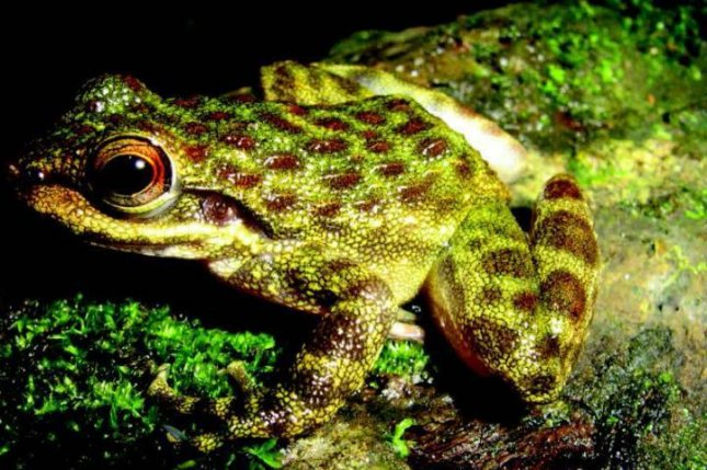 The Odontobatrachus arndti torrent tooth-frog species, discovered in Guinea. Photo by Michael F. Barej/Pensoft