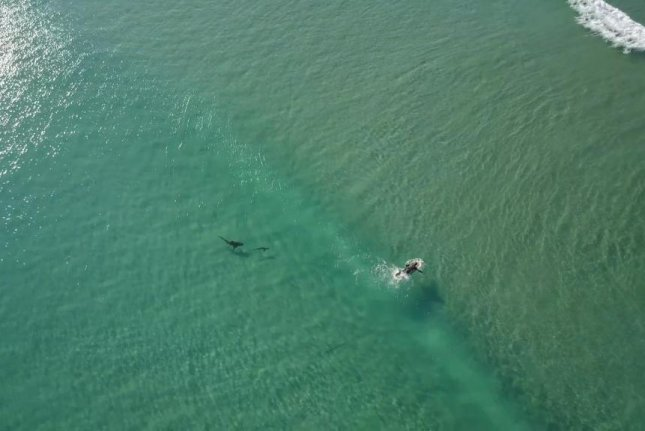 A shark chasing a tarpon passes close to a surfer who appears not to notice the underwater action. Screenshot: HYDROPHILIK/YouTube