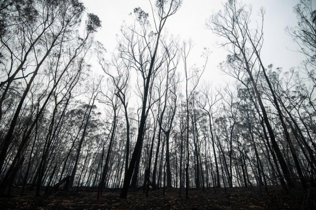 Burned trees are seen on the outskirts of Cobargo in New South Wales, Australia, on January 16.  Photo by James Gourley/EPA-EFE
