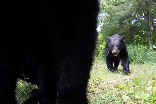 A photographer's plan to capture footage of black bears appears to be working a little too well. Screenshot: Storyful