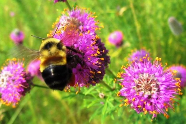 Endangered status protections for rusty patched bumble bee