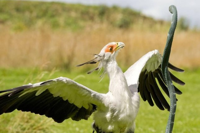 The secretary bird named Madeleine at Hawk Conservation Trust is trained to strike rubber snakes just as its relatives in the wild do when hunting snakes and lizards. Photo by Dr. Steve Portugal et al.