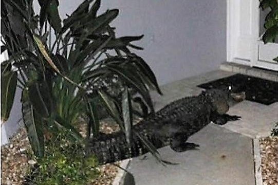 Authorities in Florida are warning the public to beware of alligators after one of the reptiles walked up to the front door of a Venice home. Photo by the Sarasota County Sheriff's Office/Facebook