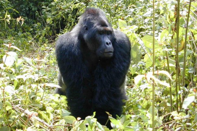Primate populations suffer as a result of Congolese warfare