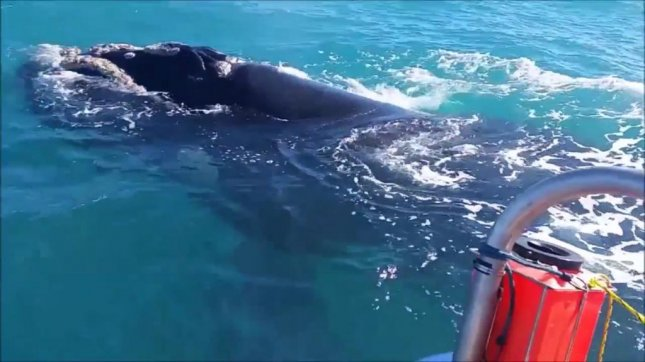 A juvenile southern right whale visits a fisherman off South Africa. Screenshot: Newsflare