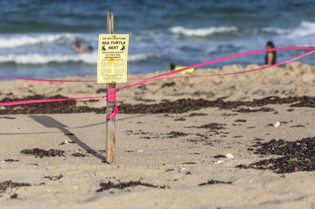 A convicted felon began attacking a turtle nest in Florida, which led volunteers to attempt to stop the man. One of the volunteers was shot with his own gun. File Photo by mariakraynova / Shutterstock