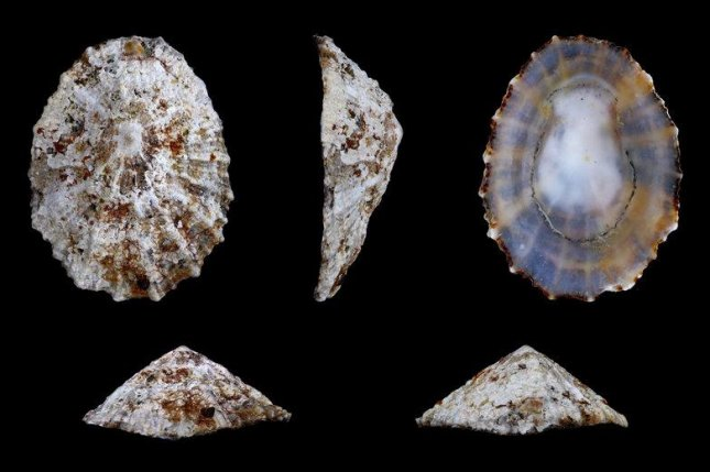 Laser imaging of modern limpet shells allowed scientists to hone in on the relationship between climate conditions, specifically marine temperatures, and the mineral composition of growth rings. Photo by H. Zell/Wikimedia Commons
