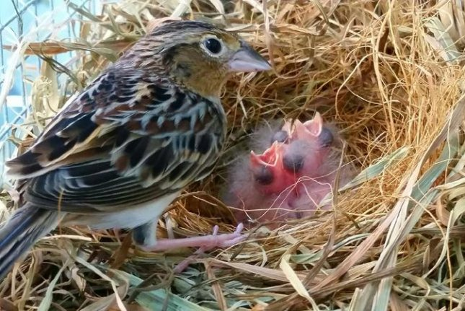 Hatchlings lend hope to survival of Florida grasshopper sparrow
