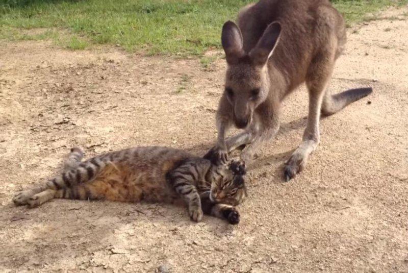 watch  pet kangaroo makes cat  u0026 39 cranky u0026 39