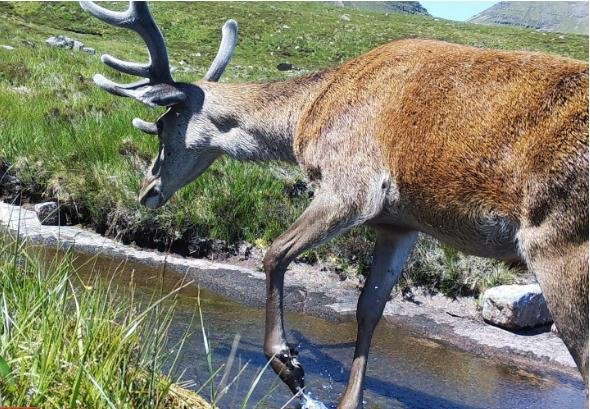 A red deer visits a camera trap in Britain, but researchers have found a better way to identify communities of animals, using animal DNA found in rivers. Photo courtesy of Joseph Drake/ UMass Amherst