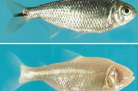 The Mexican tetra comes in two forms, varieties that can see and those that are blind. Photo by University of Maryland