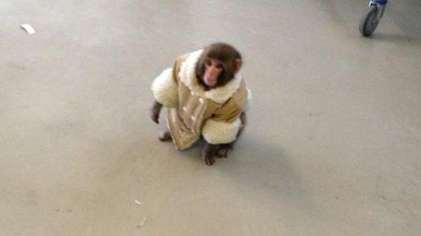 Well-dressed monkey perplexes Ikea shoppers, becomes Twitter meme