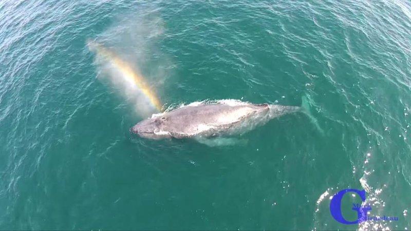 Mark Girardeau captured drone footage of the humpback whale making its own rainbow off the coast of Newport Beach, Calif. KTLA-TV screenshot