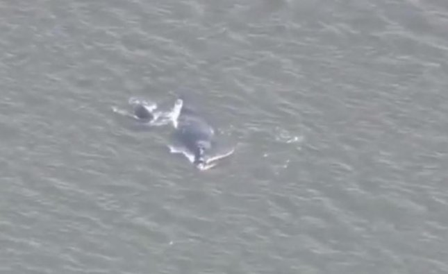 A highly endangered North Atlantic right whale and her calf were spotted lingering in a Florida inlet on Monday. The two remained in the inlet until Tuesday afternoon when they finally left for the open ocean.