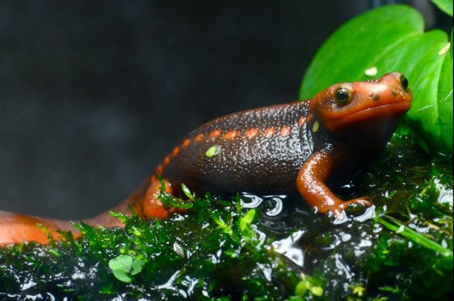 Salamanders and other amphibians can carry harmful zoonotic pathogens. Photo by Kai Wang/WSU