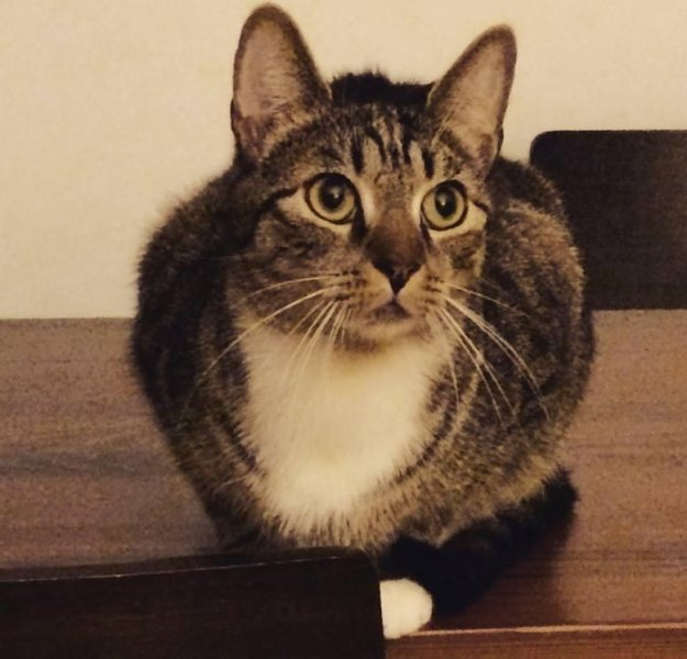 Arthur, one of the cats who famously shutdown subway services in Brooklyn in 2013, is missing, and former mayoral candidate John Catsimatidis is offering a charitable donation in exchange for help finding the cat. Photo courtesy of Arthur the Cat - Missing in Brooklyn/Facebook