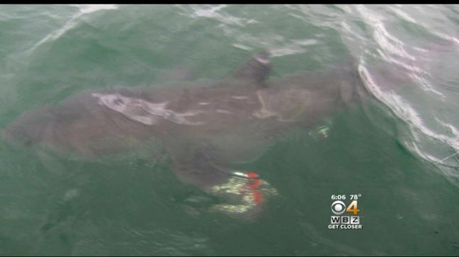 This 10 to 12-foot great white shark was hooked by a 6-year-old boy fishing with his family off Cape Cod. Screenshot: CBS Boston
