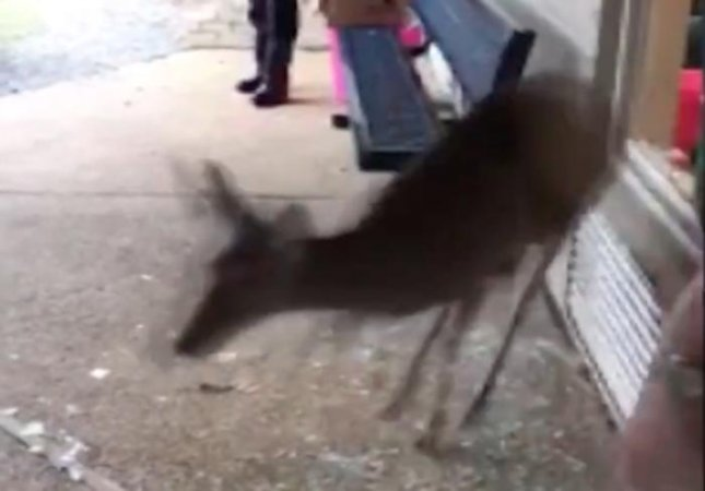 A deer ran through the parking lot of a Mississippi private school and jumped on top of a car before crashing through a glass window into a storage room. Local authorities guided the deer out of the school and into the nearby woods.  Screen capture/WJTV 12 News/YouTube
