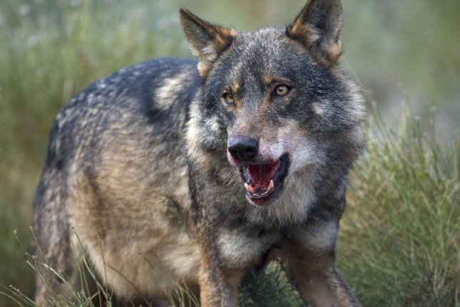 Iberian wolves have transitioned from a carrion-rich diet to one based mostly on roe deer and wild ponies. Photo by Arturo de Frias Marques/SINC/CC