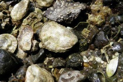 Native Olympia oysters are returning to the shores of Puget Sound and to the restaurants of the Pacific Northwest after nearly being wiped out. Photo courtesy of the Washington Department of Fish and Wildlife.