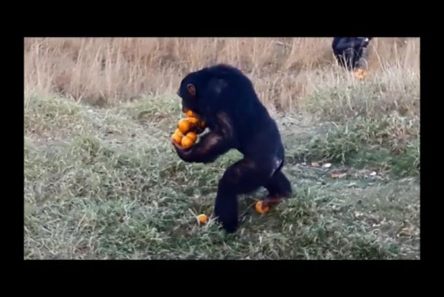 Mowgli the chimp shows off his orange-carrying skills. Screenshot: The Jane Goodall Institute South Africa/Facebook