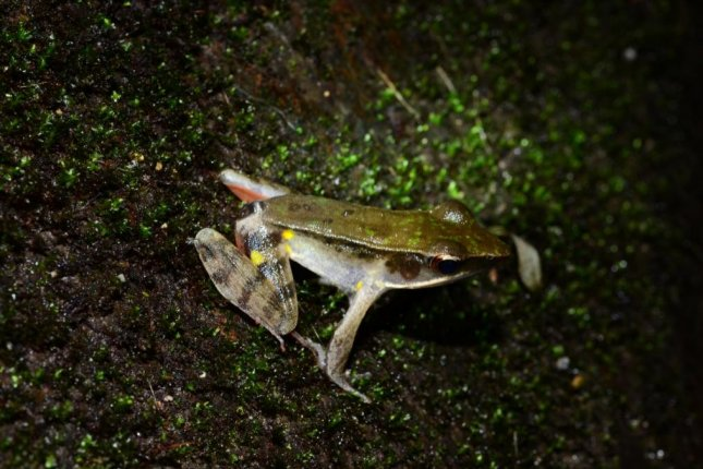 A male Warszewitsch's frog photographed in Panama. Photo by Robert Puschendorf