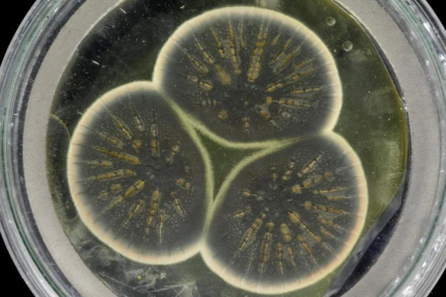 Scientists regrew mold from a frozen sample of the strain that helped Alexander Fleming first discover penicillin. Photo by CABI