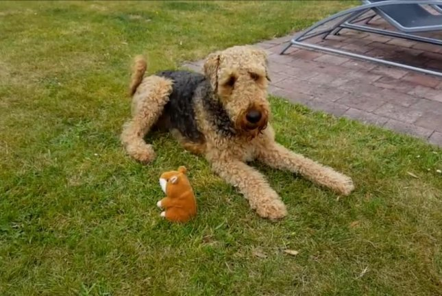 Plato the dog is perplexed by his owner's Chattermunk mimicking chipmunk toy. Storyful video screenshot