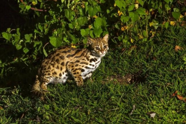 Because the leopard cat hunts for smaller, more elusive prey, it spends more time hunting than its peers, both larger and smaller. Photo by Imperial College London